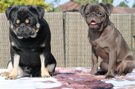 Rare color pug female puppy for sale | Manchester, Greater ...