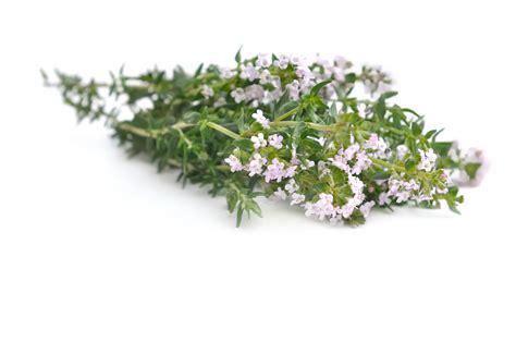 fleur de thym cuisine les fleurs comestibles pour une cuisine colorée et pleine