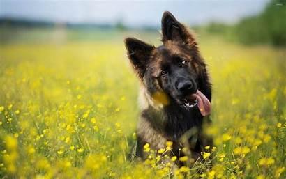 Shepherd German Wallpapers Desktop Puppy Shepherds Animal