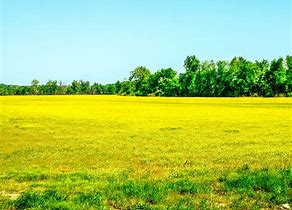 Image result for pictures of a field of bitterweeds