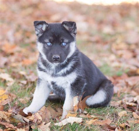 German Shepherd/Husky Puppies | craigspets