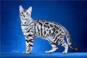 bengal cat one of the world s most expensive cat