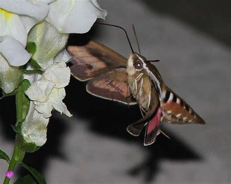 hummingbird moth kansas magazine pictures pinterest