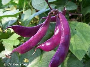 Hyacinth Bean Vine Seeds: PURPLE , Lablab purpureus ...