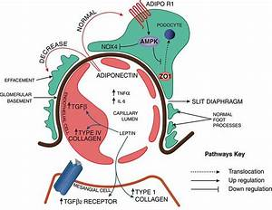 Schematic Diagram Of The Glomerular Capillaries Surrounded By Podocyte