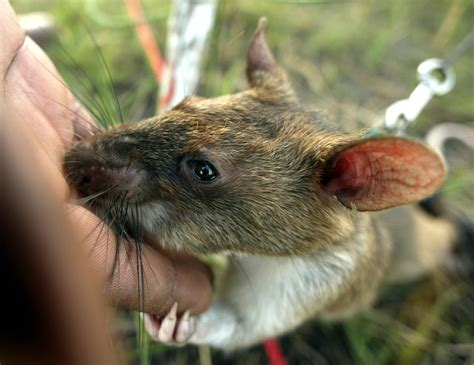 giant rats sniff tuberculosis  mozambique