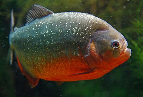Animal A Day! Red Bellied Piranha