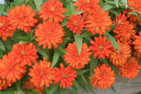 plant zahara zinnia  long lasting color mississippi