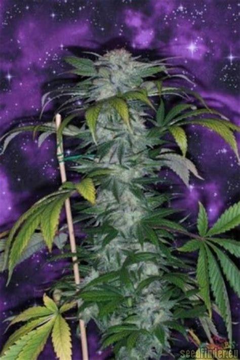 deep purple  tga subcool seeds seedfinder strain info