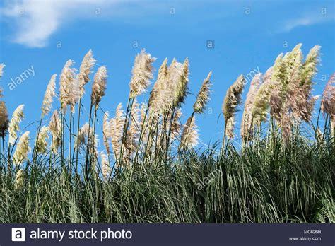Pampas Grasses Cortaderia Selloana Stock Photos & Pampas