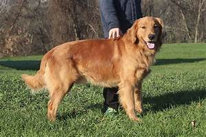 Golden Red River : windy knoll goldens akc golden retrievers ~ Orissabook.com Haus und Dekorationen