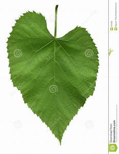 Leaf Of American Linden Tree Stock Photo - Image: 187320