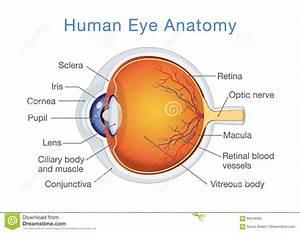 Anatomy Of Human Eye And Descriptions  Stock Vector