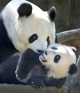 99 best Panda Power! images on Pinterest | Wild animals ...