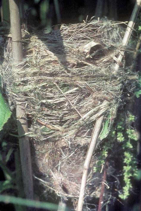 Bild 2 Aus Beitrag Vögel Im Schilf  Der Teichrohrsänger