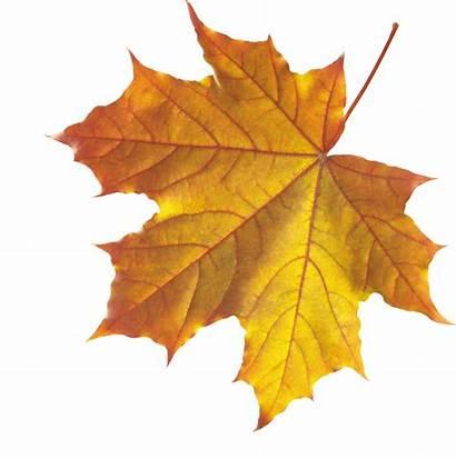 Leaf Autumn Leaves Freepngimg 1074