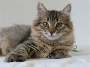 siberian cats for prekrasne siberian cats 2013 01 06