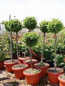 Buchsbaum Rund Schneiden : buchsbaum st mmchen buxus sempervirens st mmchen baumschule horstmann ~ Frokenaadalensverden.com Haus und Dekorationen