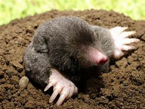 Managing moles product range ripley nurseries garden for Garden moles
