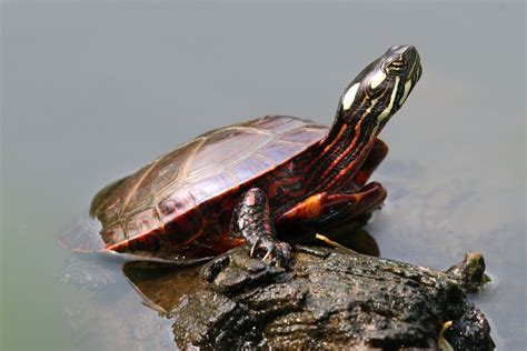 painted turtle tortue peinte wikiwand