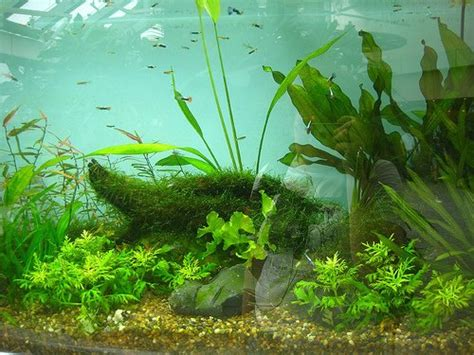 fish n tips aquatic plants