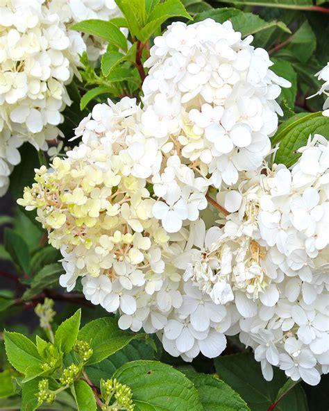 strawberry vanilla hydrangea vanilla strawberry hydrangea hydrangea paniculata renhy