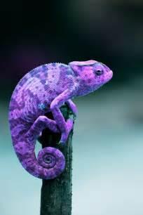 Purple Chameleon Lizard
