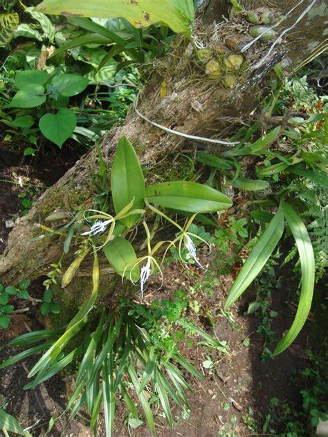 Orquídeas HElid: Auliza Ciliaris / Epidendrum Ciliare ...