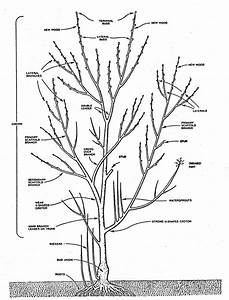 Prune A Fig Tree
