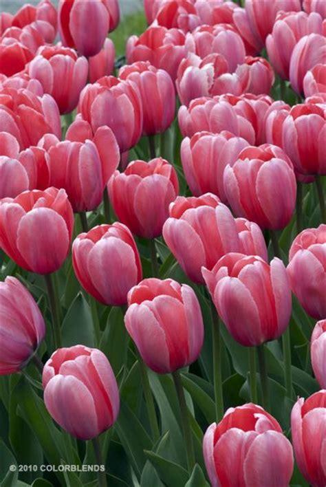 the 25 best tulip bulbs for sale ideas on