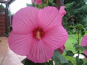 Riesen Hibiskus Kaufen : riesen hibiskus foto bild pflanzen pilze flechten bl ten kleinpflanzen ~ Watch28wear.com Haus und Dekorationen