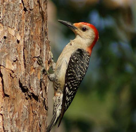 woodpeckers of florida