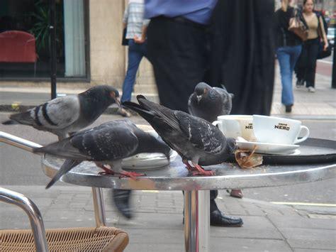 pigeon cuisine pigeons science buzz