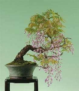 Blauregen Im Kübel : bonsai blauregen gr ser im k bel berwintern ~ Frokenaadalensverden.com Haus und Dekorationen