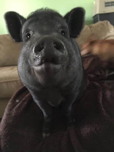 realistic growth sizes  mini pigs mini pig info