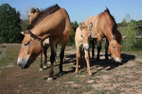 asian zoo animals horse wild minnesota social mnzoo