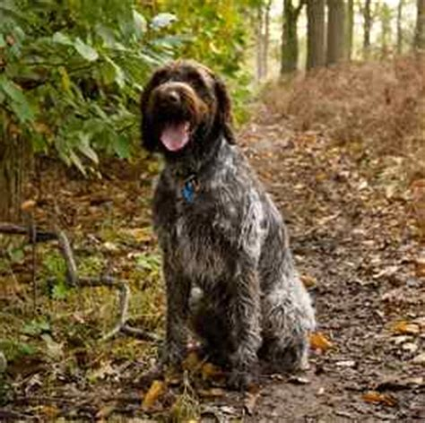wirehaired pointing griffon non shedding large non shedding dogs