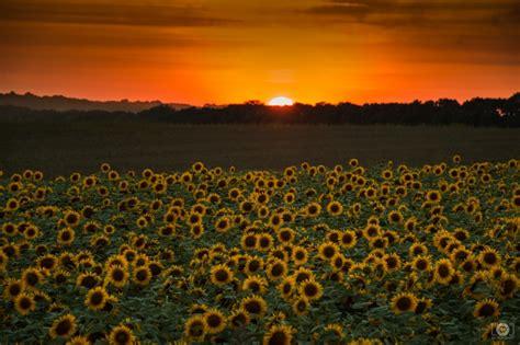 sunset  field  sunflowers background high