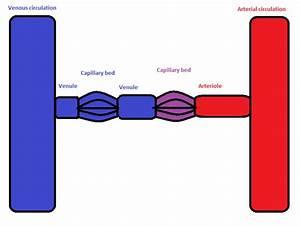 Portal Venous System