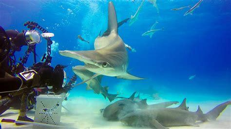 bimini diving   hammerhead sharks youtube