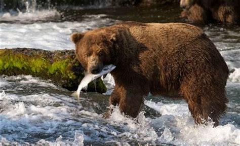 Webcams Make Alaska Bears Accessible Technology