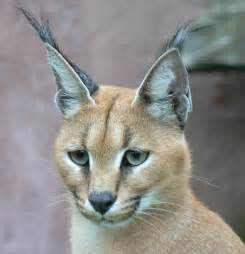 caracal cat file caracal001 jpg