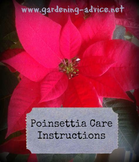 poinsetta care poinsettia care tips for growing poinsettias