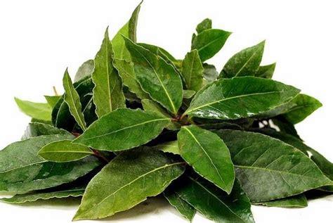 daun salam dimanfaatkan sebagai obat herbal diabetes