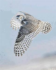 flying owl | Amazing Animals | Pinterest