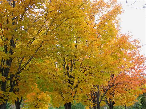 types of maple trees with pictures maple tree pictures images photos info on the maple tree species
