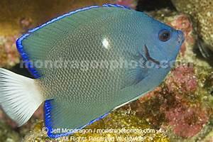 Clipperton angelfish Photos, Holacanthus limbaughi ...