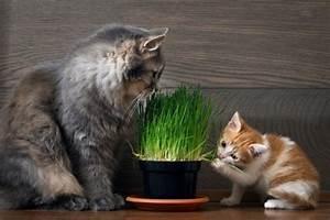 Herbe à Chat : herbe chat 5 choses savoir blog ~ Melissatoandfro.com Idées de Décoration