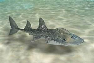 Take a Look at this Bizarre Shark Ray It's a Shark Ray