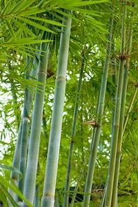 Bambus Pflege Zimmerpflanze : bambus pflanze kaufen goldener peking bambus 1 pflanze g nstig online kaufen bambus pflanzen ~ Frokenaadalensverden.com Haus und Dekorationen